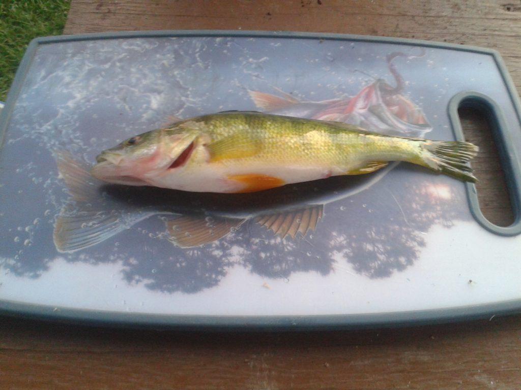 Perch Fishing Jumbo Yellow Perch