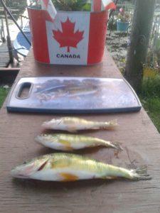 yellow perch fishing