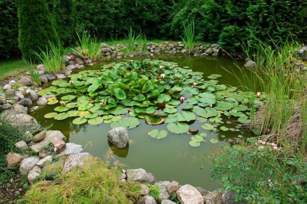 goldfish pond garden plants